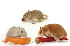 Curious hamsters Royalty Free Stock Images