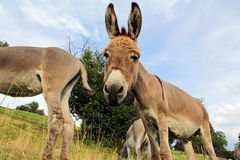 A curious handsome young donkey Stock Photography