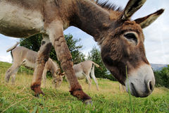 A curious handsome young donkey Royalty Free Stock Photos