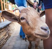 Curious happy goat standing in a yard looking at camera. Pet stock images