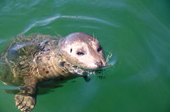 Curious harbor seal Royalty Free Stock Photography