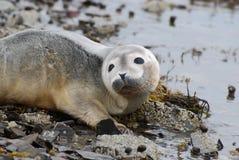 Curious Harbor Seal Pup. Adorable face of a baby harbor seal pup Stock Photos