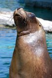 Curious Harbour Seal Stock Photos