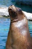 Curious Harbour Seal Stock Photos