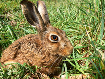 A Curious Hare. A Brown Hare busy eating his way through a field of grass Stock Photo