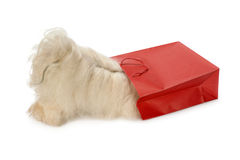 Curious Havanese dog. Looking to a red bag. Isolated on a white background Royalty Free Stock Photos