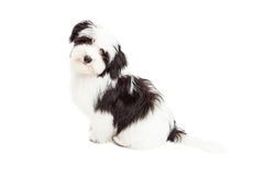 Curious Havanese Dog Sitting Royalty Free Stock Images