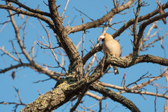 Curious hawfinch female on a twig Royalty Free Stock Photography