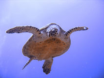 Curious hawksbill sea turtle (endangered) Royalty Free Stock Image