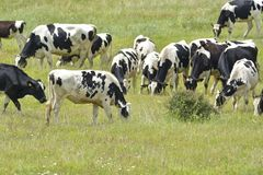 Curious heard of Black White Cows. Royalty Free Stock Image