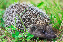 Curious hedgehog Royalty Free Stock Photography