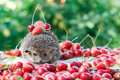 Curious hedgehog among the berry on green leaves background. Curious hedgehog, Atelerix albiventris, among the berry on green leaves background stock images
