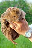 Curious hedgehog in human hands in the rays of the setting sun. Shot made in reservation national park Askania Nova, Ukraine Royalty Free Stock Photo