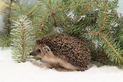 Curious hedgehog in the snow hidden under fir branches Royalty Free Stock Image