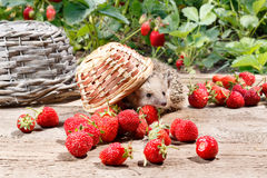 A curious hedgehog turned over the basket of strawberries Royalty Free Stock Photo