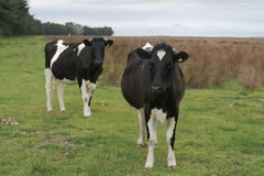 Curious heifers. Two curious heifers on a flat-land dairy farm in Canterbury, New Zealand.  Front heifer is in focus, the one behind slightly out.  Overcast day Royalty Free Stock Images