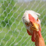 Curious hen Royalty Free Stock Photo