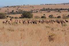 Curious herd of antelope. Herd of antelope encountered on a game-drive in Magaliesberg, South Africa Stock Photography