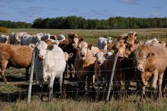 Curious herd of cattle approaches a fence. Curious cows in a pasture Royalty Free Stock Photography
