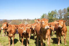 Curious herd of young Limousin beef cattle in a hilltop pasture Stock Photos