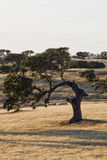 Curious holm oak tree Royalty Free Stock Image