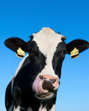 Curious Holstein cow. Low angle head portrait of a curious black and white Holstein cow with her tongue out licking her nose against a clear blue sky Royalty Free Stock Images