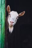 Curious hornless goat Royalty Free Stock Photo