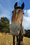 Curious horse. Close up of an inquisitive horse, from low viewpoint Royalty Free Stock Photos