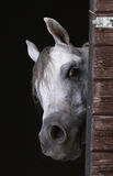 Curious horse. White arabia horse looking from stable Royalty Free Stock Photo
