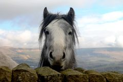 Curious horse in open fields looking directly at the camera. Curious horse in open fields looking directly at the camera in Oldham Stock Images