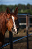 Curious horse in paddock Royalty Free Stock Photo