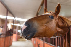 Curious horse Royalty Free Stock Photo