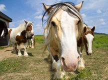 Curious Horses Stock Images
