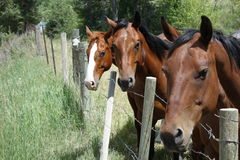 Curious horses in the idaho countryside. Pretty horses at a fence by the roadside in idaho Stock Images