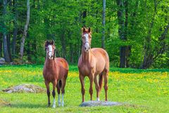 Curious Swedish horses in spring Stock Images