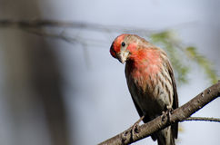 Curious House Finch Perched on a Branch Royalty Free Stock Photos