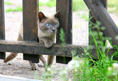 Curious hunting young blue-eyed siamese cat Stock Photo