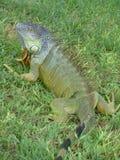 Curious iguana Stock Image