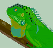 The curious iguana on a branch. Royalty Free Stock Images
