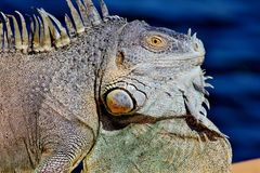Curious, Iguana, Dock, Cool, Green Royalty Free Stock Photo