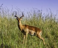 Curious Impala at Kruger National Park royalty free stock image