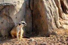 Curious and inquiring surikat or meerkat watching around.  Stock Photography