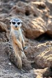 Curious and inquiring surikat or meerkat watching straight and sitting comfortably.  Stock Photography