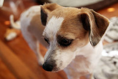 Curious Jack Russell Stock Photo