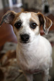 Curious Jack Russell Stock Images
