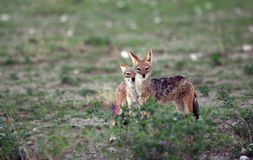 Curious jackals Royalty Free Stock Image