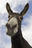 Curious Jackass or Donkey. Humorous image of a jack ass or donkey, associated with stupidity, stubborness, burden and hard work Royalty Free Stock Photos