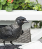 Curious Jackdaw. Curious (and hungry) jackdaw keeps us company at the coffee table royalty free stock image