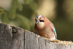 Curious jay at seed feeder Stock Image