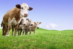 Curious Jersey Bullocks. Royalty Free Stock Photography